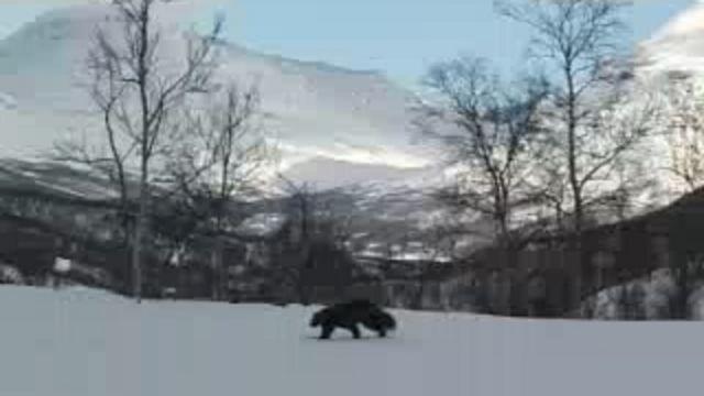 Runt i naturen - Persiska : De fyra stora - järv, lo, varg och björn
