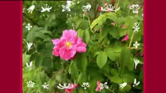 Från blomma till blomma - persiska : Jag älskar pollen