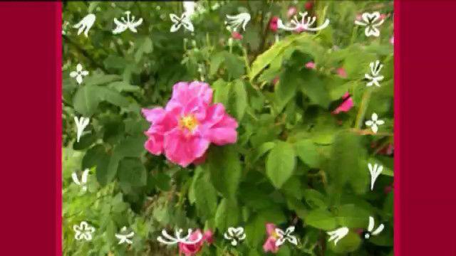 Från blomma till blomma - arabiska : Jag älskar pollen