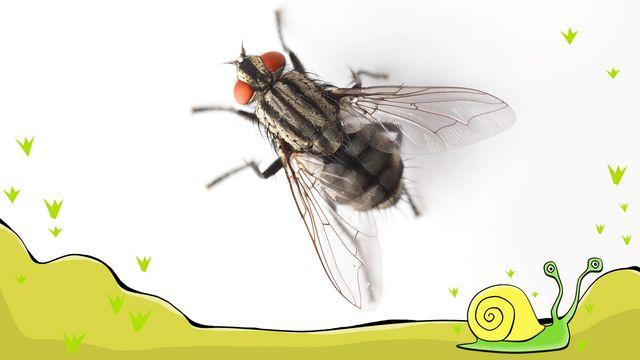 En flugas liv - meänkieli : Jag är en fluglarv