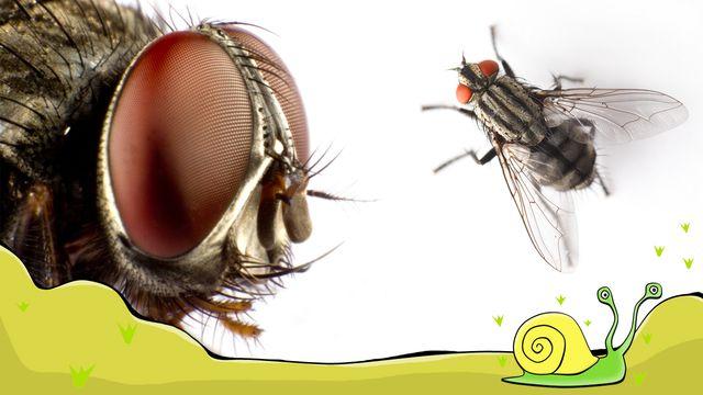 En flugas liv - meänkieli : Jag blir kär