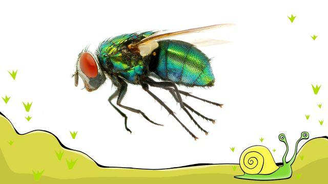 En flugas liv - meänkieli : Jag förvandlas