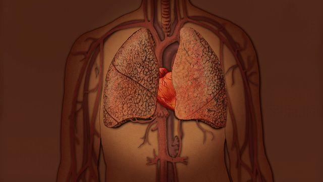 Din kropp - finska : Hjärtat och lungorna