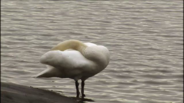 Skrutts fågelbok - jiddisch : Fåglar som badar