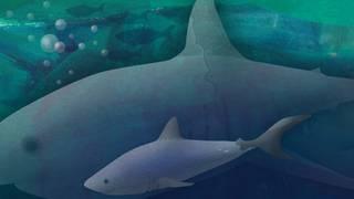 Djurlåtar: Lilla hajen