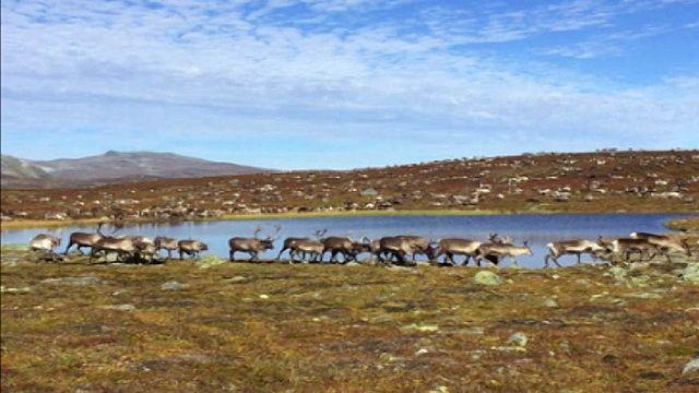 UR Samtiden - Samisk hälsa på agendan : Renskötande samers två världar