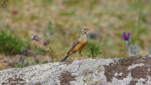 UR Samtiden - Flora- och faunavård 2018 : Hotad mångfald i odlingslandskapet