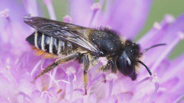 UR Samtiden - Flora- och faunavård 2018 : En larmrapport om hotade vildbin