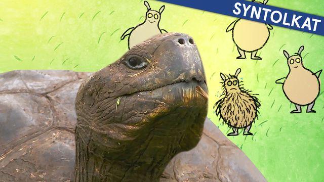 Om evolution - syntolkat : Variation och sköldpaddor