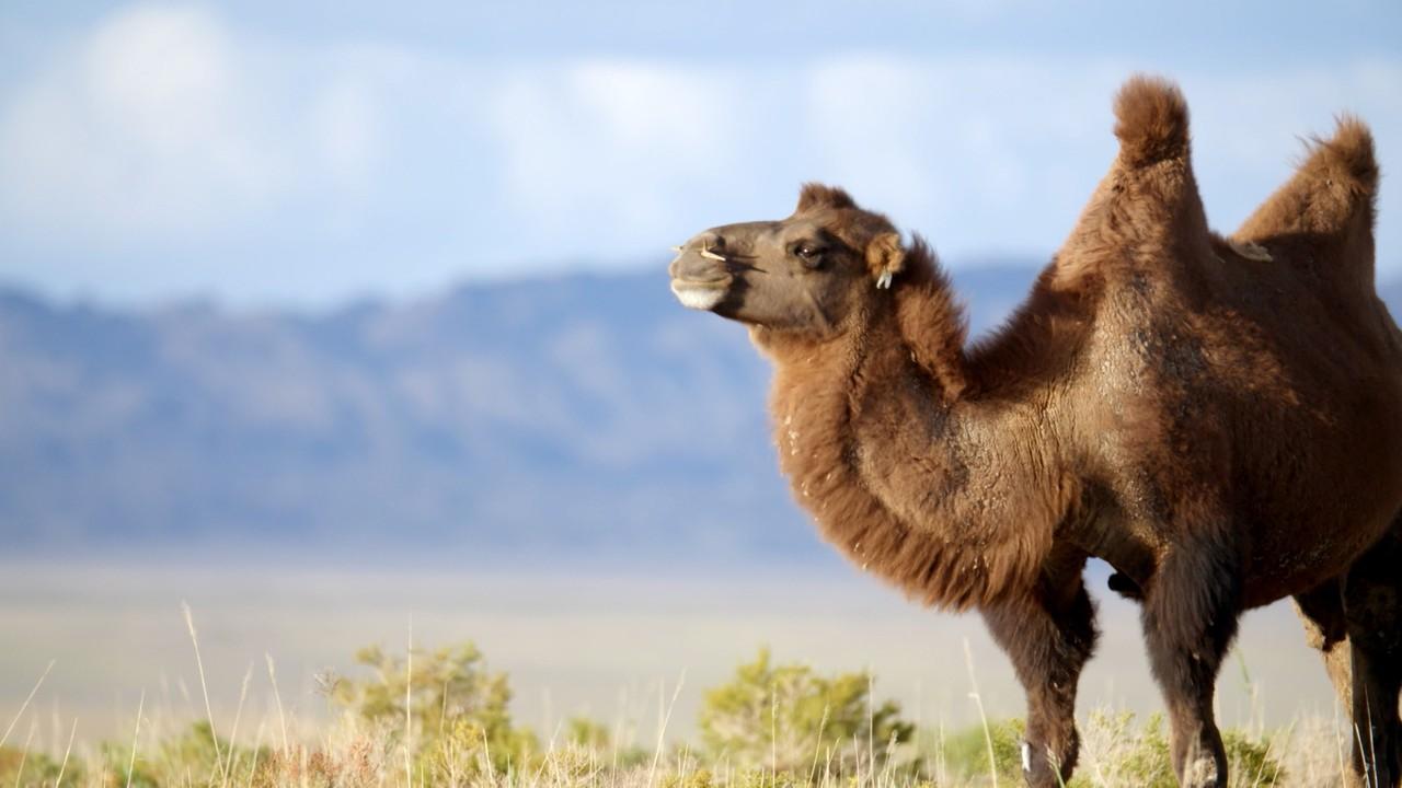dejtingsajt annons med kamel
