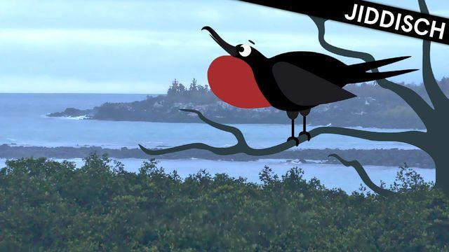 Om evolution - jiddisch : Galapagos och snygga hanar