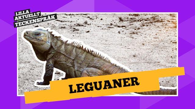 Vi förklarar! : Leguaner
